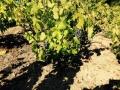 Sklizeň hroznů v Beaujolais ročníku 2015