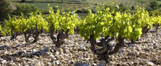 Vinice v Châteauneuf-du-Pape