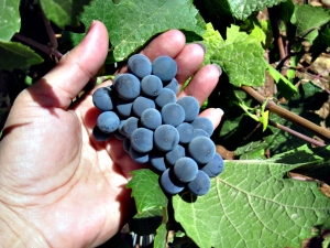 Bílé víno z červených hroznů? Nic nemožného