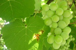 Někteří vinaři z Břeclavska čekání na ledové víno vzdali, vytrvá rakvická Réva