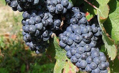 Vínobuditelé hodnotili Rulandské modré