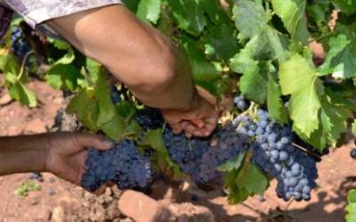 Vinaři překonali špatný podzim, jejich produkce letos neklesne