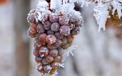 Ledového vína bude z letošní sklizně patrně méně