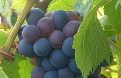 Češi i Moravané stále častěji pijí sladká vína. Přišli na chuť cukru