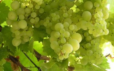 Česko jako vinařská země? Dovážíme dvakrát více vína, než vyrobíme