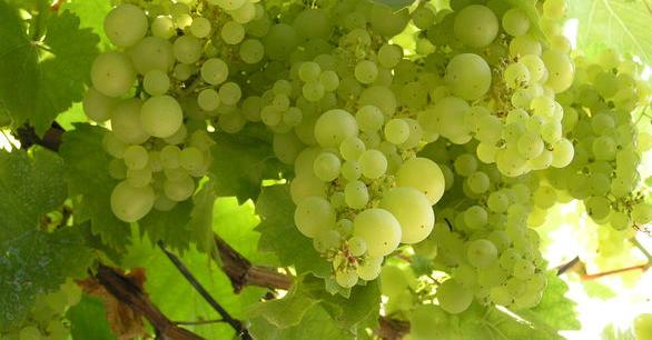Na Střeleckém ostrově dnes vypukne největší svátek vína a burčáku v Praze