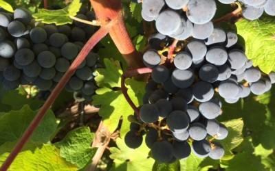 Vína z Hercegoviny (i Bosny) nabírají druhý dech