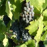440px-Zinfandel_grapes