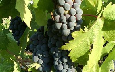 Izraelská vína se dočkala uznání od prestižního vinařského časopisu Wine Spectator