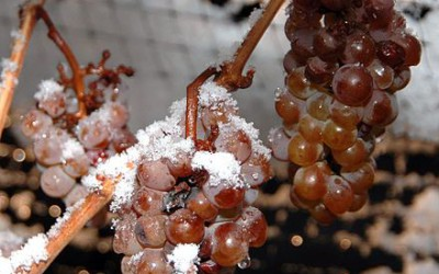 Na jižní Moravě začala sklizeň hroznů pro ledové víno