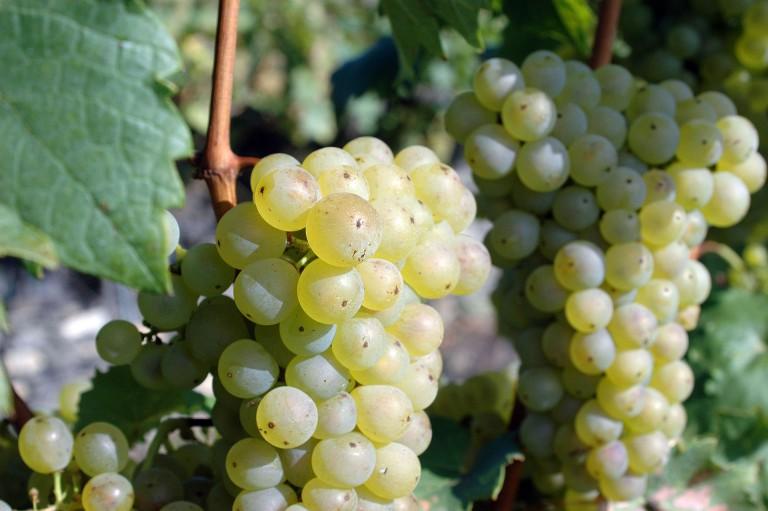 Ledové víno se stává vzácností, mráz na Slovácko přišel zase pozdě