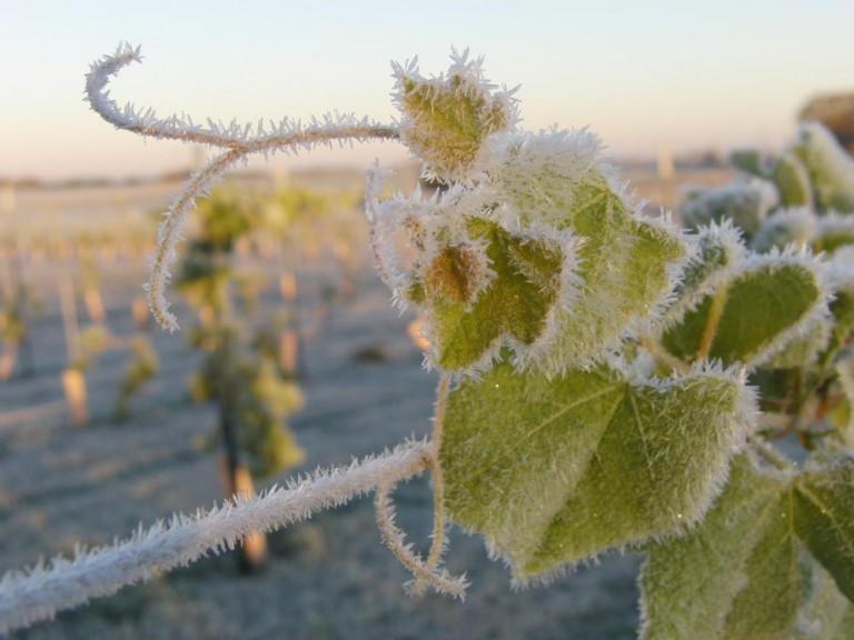 Mrazy zničily víno za půl miliardy, tvrdí vinaři. Někde zbyla jen pětina