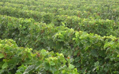 V Polešovicích po jedenácté světili mladá vína