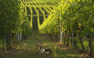 Tajemství švýcarských vinic