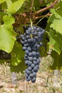Grappe de raisin de Syrah / Syrah Wine Grape
