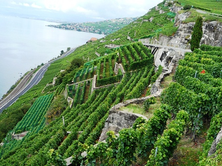 Abeceda švýcarských odrůd: Chasselas alias Chrupka bílá