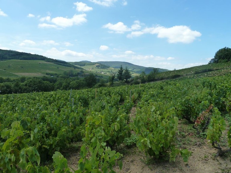 Abeceda odrůd – Gamay neboli Beaujolais nouveau est arrivé