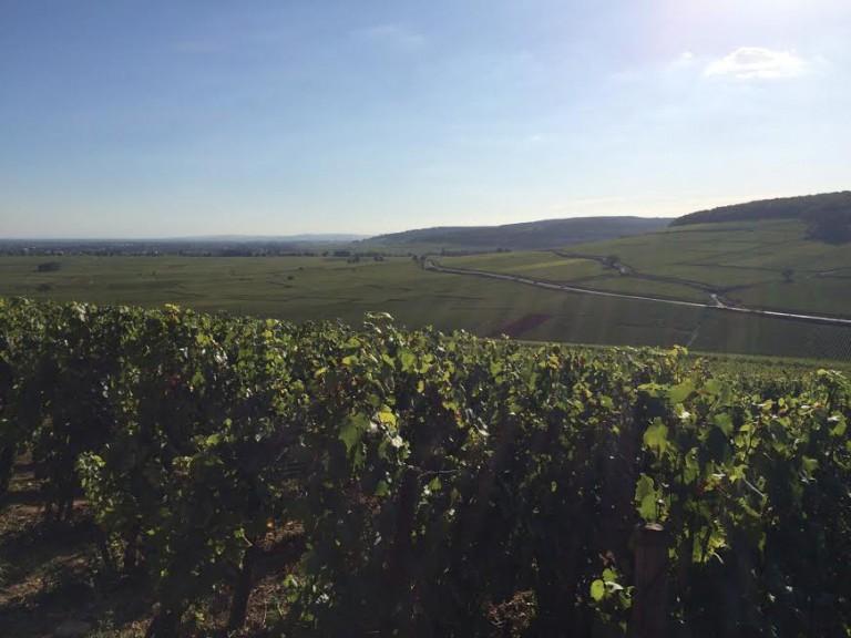 Abeceda odrůd Chardonnay