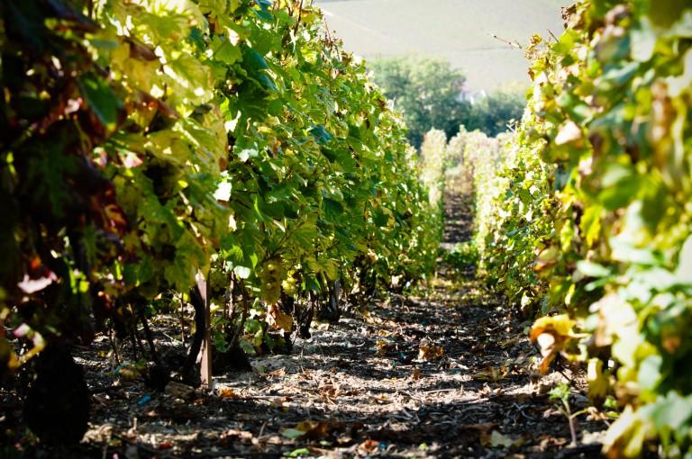 Do Kuksu za vinohrady a Bohyní vína