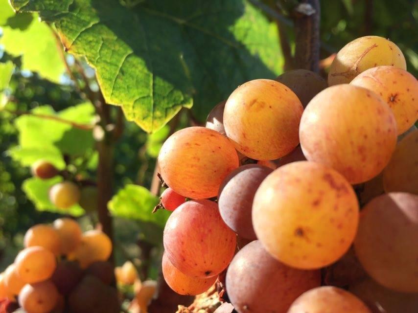 Macerace při výrobě bílého a červeného vína pomáhá získávat z hroznů aroma a další důležité sloučeniny