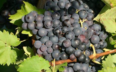 Co všechno nevíte o Trolínském víně