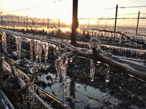 Z Česka mizí ledové víno! Hrozny často shnijí už na keřích