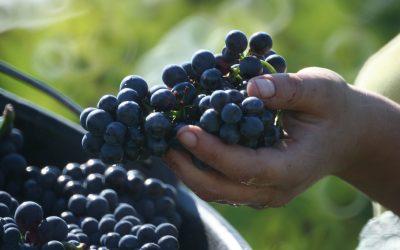 Budoucnost pěstování vína je v severní Evropě. Pivařům navzdory