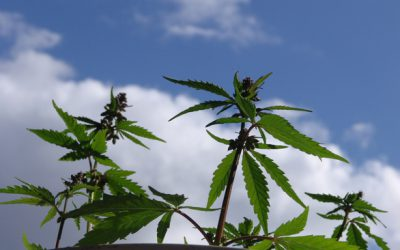 Vinaři z Oregonu se dávají na pěstování marihuany