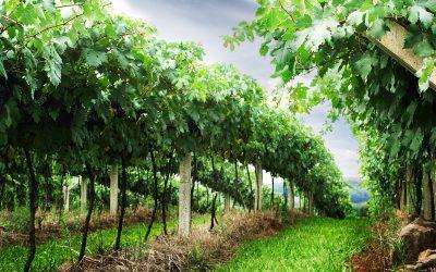 OBRAZEM: Krumlovští jsou nadšeni z první úrody z nových vinic