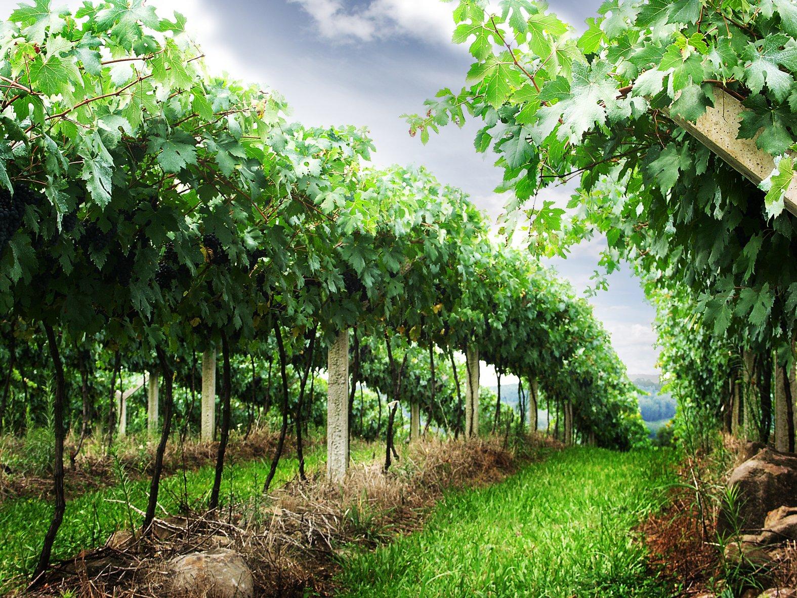 Z Poysdorfu do Falkensteinu - Vinicemi mezi dvěma vinařskými obcemi