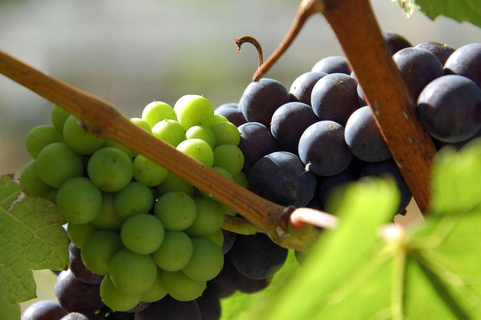 Porovnávací degustace PIWI a evropských odrůd ve Valticích