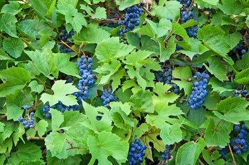 Ve Španělsku vyrábějí skutečně modré víno