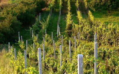Oteplování může v hradeckém kraji změnit skladbu vinohradů