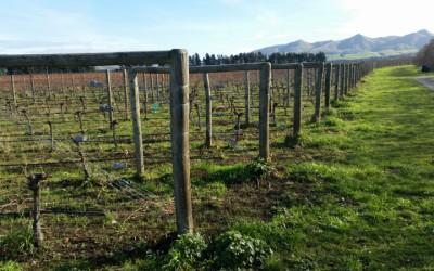 Městský vinohrad na Větruši se rozroste o hlavy bílého vína. Přispěli dárci