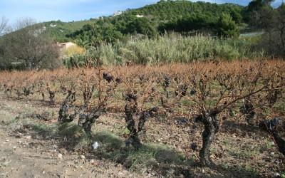 Fyloxéra neboli mšička révokaz a boj vinařů v Bandol