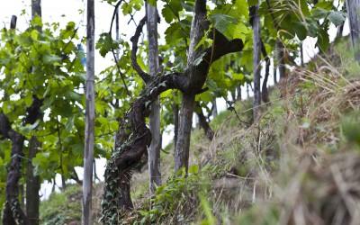 Legendy o víně jako heraldický znak regionu